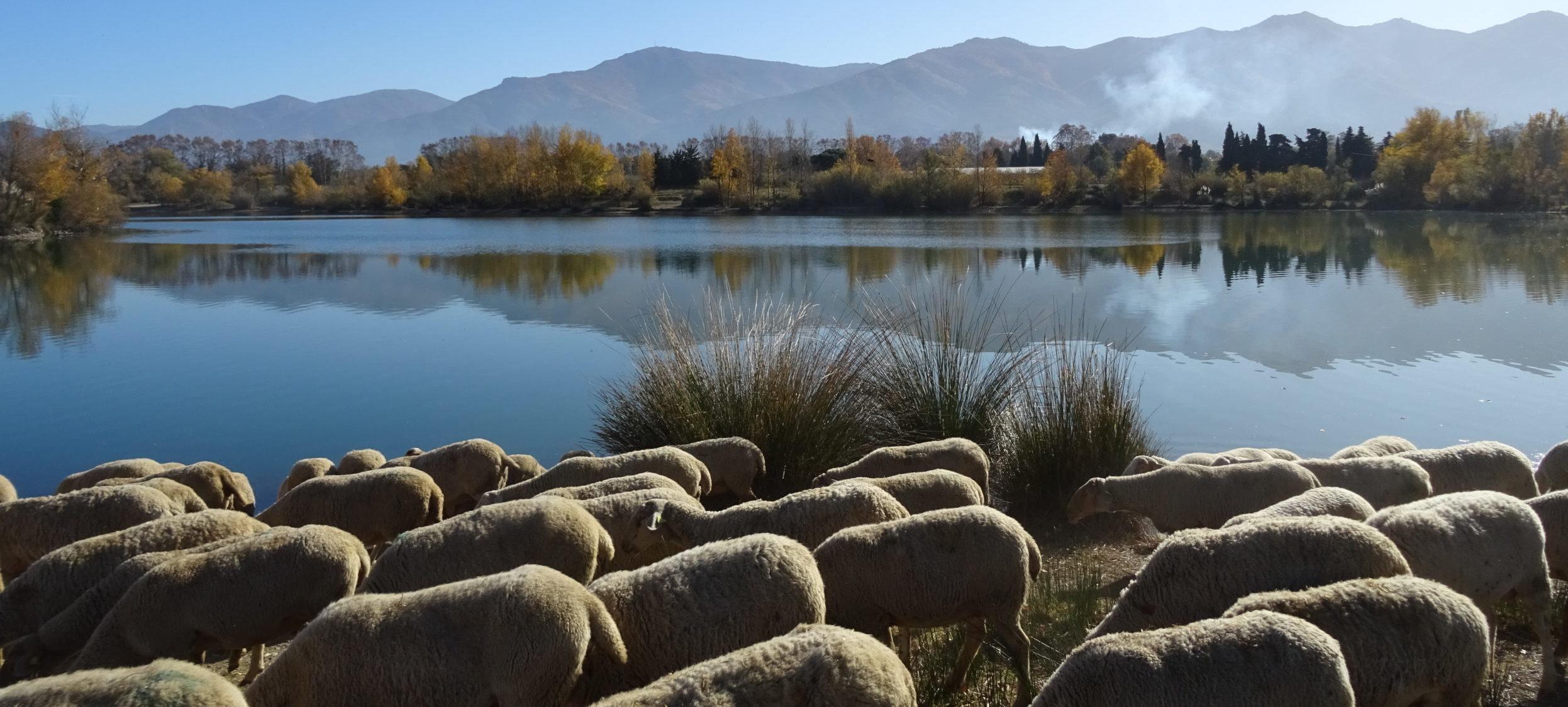 L'agneau nature